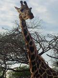 Giraffelongneck